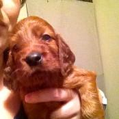 Puppies 071